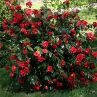 Tanaman hias bunga camelia merah