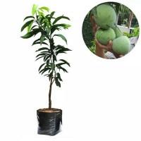 Tanaman bibit buah mangga kelapa