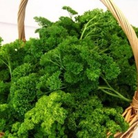Benih Sayur atau Herbs Peterseli / Parsley isi 200 Buti Murah