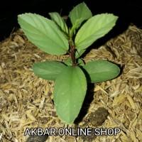 Bibit Pohon Daun Bidara Arab Sidr Utk Ruqyah Bibit Bidara Pohon Bidara