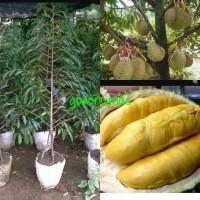 Bibit Durian musang king kaki 3 siap berbuah tinggi 2 m
