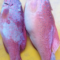 Harga Ikan Kerapu Travelbon.com