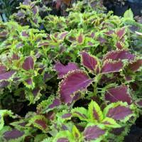 Jual tanaman miyana/miana hijau merah