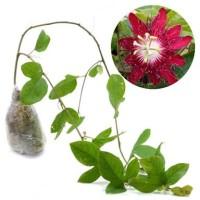 Red Passion Flower (Passiflora miniata) bibit 60cm