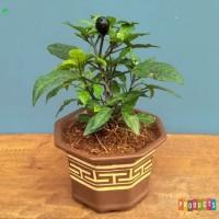 Bibit tanaman sayuran Cabai hitam / Black Royal Pepper SUPER PEDAS