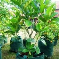pohon nangka sayur Uk-1m sampai uk-2m