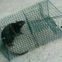 Perangkap / jebakan tikus massal besar