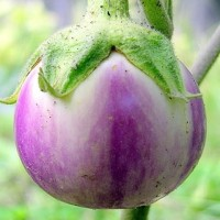 biji/benih/bibit tanaman terong bola ungu