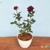 Bibit tanaman Mawar bunga merah abra hitam ( bukan hitam tapi merah )