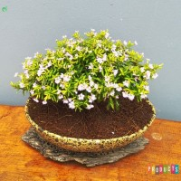 Bunga taman tahan panasTaiwan putih / cuphea hyssopifolia white