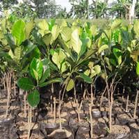 Termurah 3 Bibit Buah Nangka Mini Sayur Super Genjah Termurah