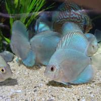 Harga Ikan Discus DaftarHarga.Pw