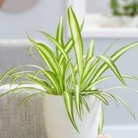 Spider plants/tanaman gantung