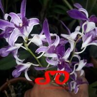 Dendrobium Somsak Blue