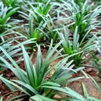 Tanaman Rumput Kucai Mini