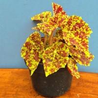 Tanaman hias area teduh bisa di pot begonia marmaduke