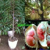 Bibit Durian kaki 3 siap berbuah tinggi 2m