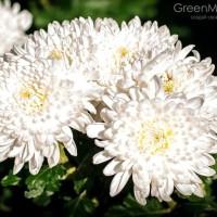 Biji benih bunga chrysan putih import