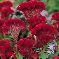 Biji benih bunga jengger ayam merah maron