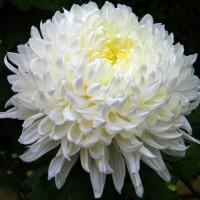 Biji benih bunga chrysanthemum inodroum