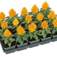 Biji benih bunga yellow dwarf celosia