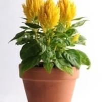 Biji benih bunga celosia pagoda kuning