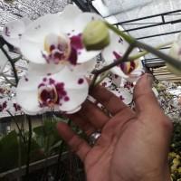 Anggrek Bulan Bunga Besar warna Putih Lidah dan totol merah