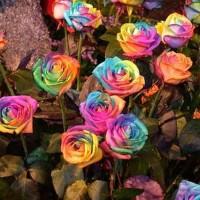 JUAL MURAH (100biji) Benih / Bibit Bunga Mawar IMPORT Pelangi /