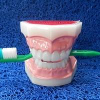 Dental Study Model Hero Kecil + Sikat Patung Gigi Ukuran Normal