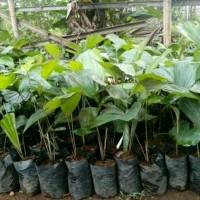 Bibit Pohon Aren - Gratis Akar Aren 50 Gram