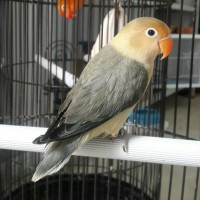 Burung lovebird Pb ewing umur 4 bulan