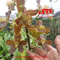 Grammatophyllum martae dewasa (siap berbunga)
