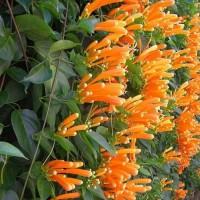 bunga jalaran api atau flame vine tanaman rambat