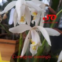 Coelogyne cumingii