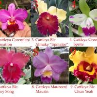 (Promosi) Macam-macam Cattleya Dewasa