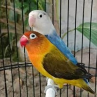 burung lovebird sepasang euwing green/blue (j) x pied d blue (betina)