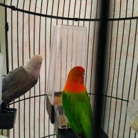 burung lovebird sepasang bio poss blue (j) x euwing vio/pb (b)