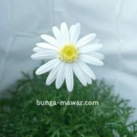 Tanaman Hias Daisy Putih