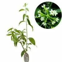 Bibit Bunga Arumdalu - Melati Jasmine
