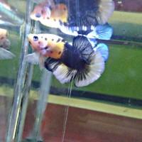 Jual Ikan Cupang Yellow Koi Kab Bekasi Betakomprang Tokopedia