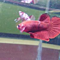 Jual Ikan Cupang Hellboy Kab Bekasi Betakomprang Tokopedia