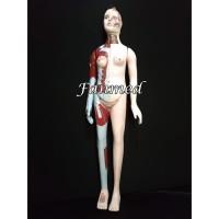 Alat Peraga /Phantom Torso Anatomi Manusia Seluruh Tubuh Wanita 150 cm