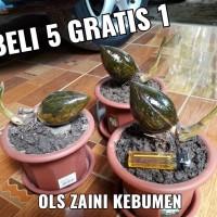 Jual Pot Bonsai Kelapa Gading Super Kecil Mini Unik Dan Langka Kab Kebumen Ol Zaini Shop Kebumen Tokopedia