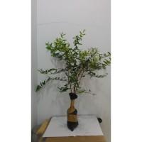 Pohon Delima Merah 1 m / 100 cm pomegranate / Rumman (bibit / benih)