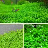Jual love grassr bibit benih tanaman rumput air seed ...