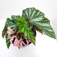 Tanaman Hias Angel Wing Begonia (Begonia Coccinea)