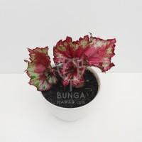 Tanaman Hias Indoor Begonia Rex Corak Merah