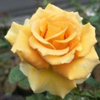 Tanaman Hias Bunga Mawar Kuning Lokal