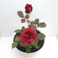 Tanaman Hias Mawar Rambat Bigola Merah