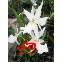 (KNOP) Aliceara (Degarmoara) Winter Wonderland 'White Fairy'